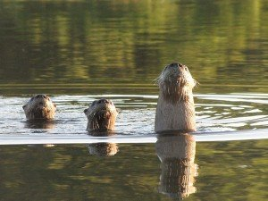 Coastal Otters