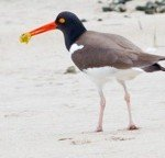 American Oystercatcher - photo by Jeff Bernier