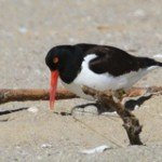 American Oystercatcher - Photo by Lanny McDowell Avian Art