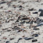 Piping plover with 2 chicks
