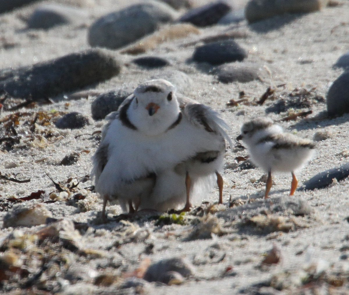Piping Plover with 3 chicks