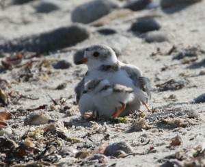 Female Piping Plover with chick