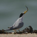 A least tern preparing to feed its mate