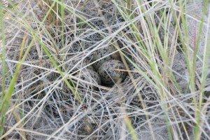 Willet Nest