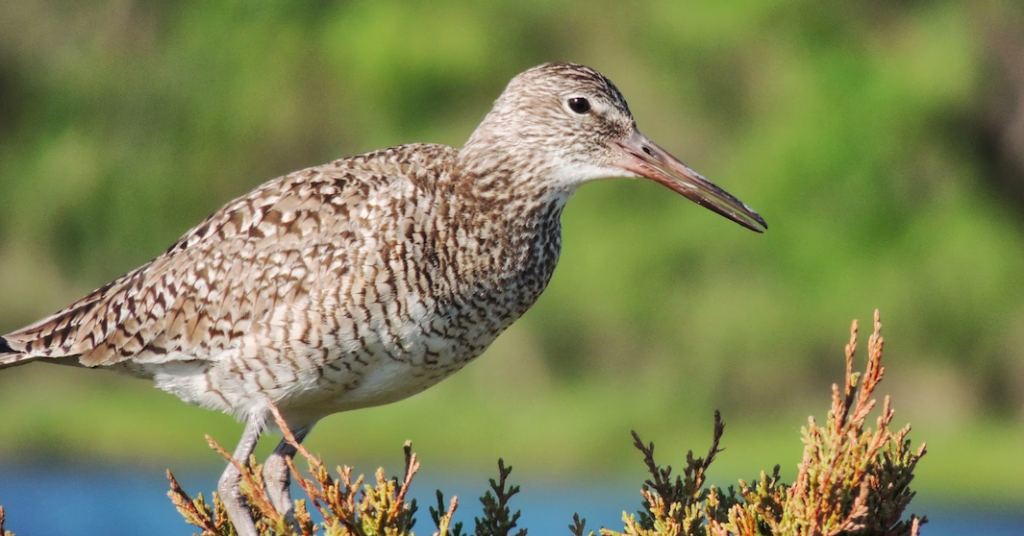 Whither Willet