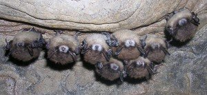 photo courtesy of www.whitenosesyndrome.org