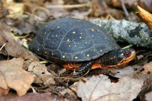 spotted turtle, Mike Jones MassWildlife